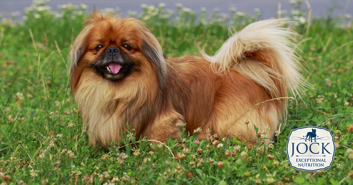 Know your breed: Pekingese - JOCK Dog Food